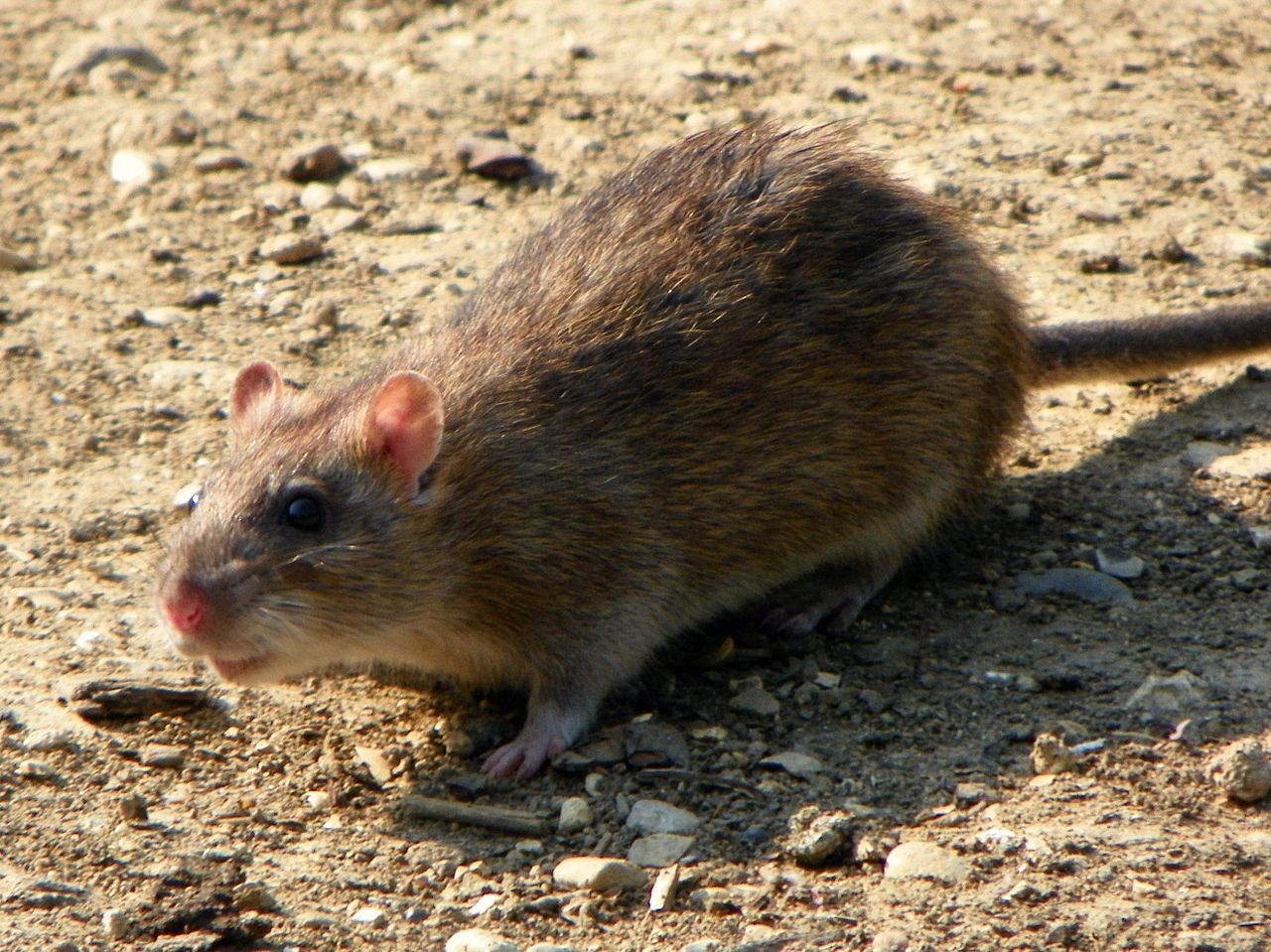 1280px-Rattus_norvegicus_-Fairlands_Valley_Park,_Stevenage,_England-8